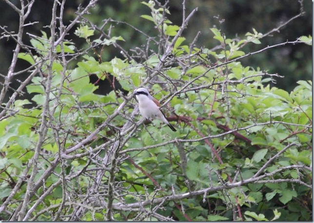 red-backed shrike1