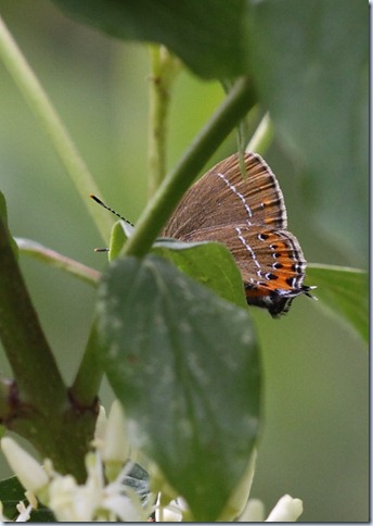 black_hairstreak