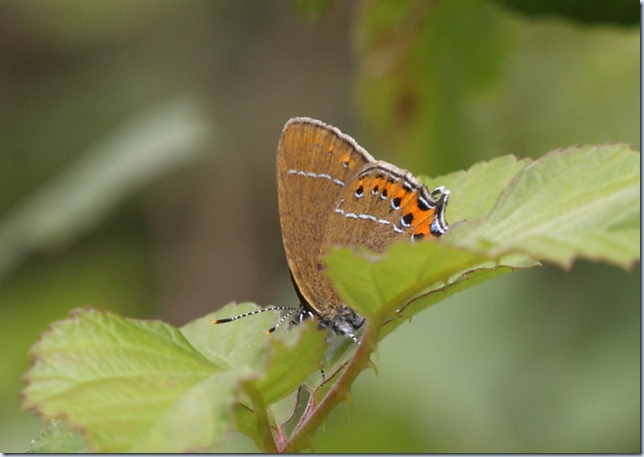 black_hairstreak2