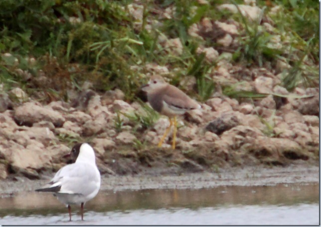 white-tailed plover2