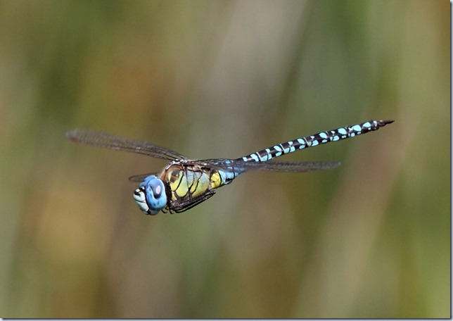 southern_migrant_hawker2