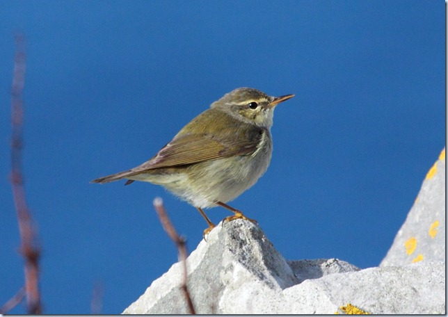 arctic_warbler