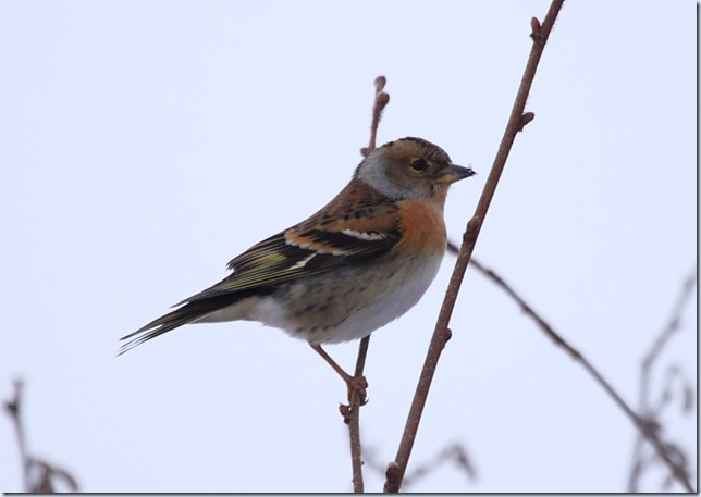brambling_female