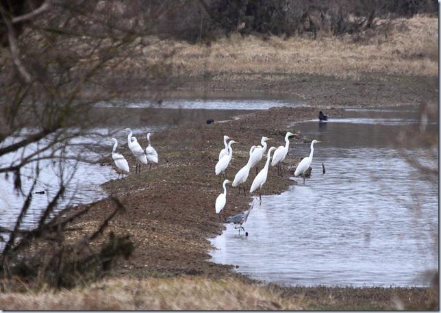 greatwhiteegrets