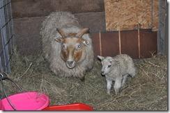 first lamb 2010 010