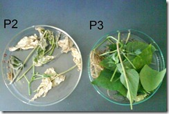 effect of Nat mur 6ch on Standardized Culture of Phaseolus vulgaris
