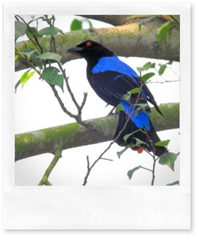 550px-Asian_Fairy-bluebird-male