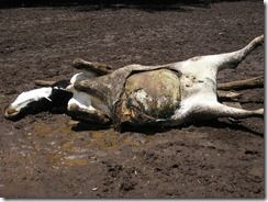 Dead Cow Bloat, April 2006