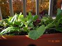greens growbox 1, mustard greens front