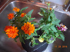 16 week profusion zinnias, retired today