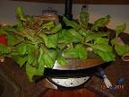 10 week KRC lettuce - the end (ate 'em for supper)