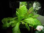 5 week KRC lettuce (2 plants per pod)