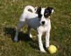 Parson_Russell_Terrier_Puppy