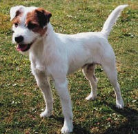 parson_dog_jack_russell