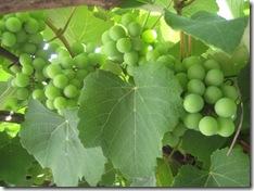 uvas 2010-11-28 006