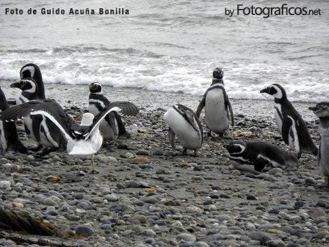 Pinguinares