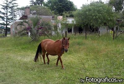 caballo-petiso