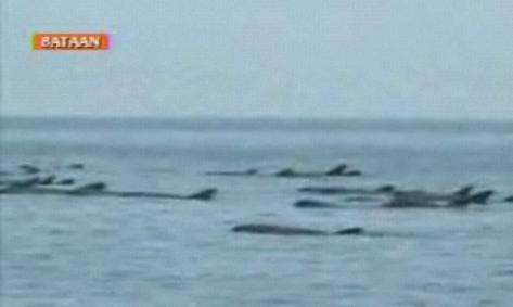 dolphins stranded at Bataan