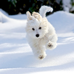 Henri by Jeannette Thalmann-Bendeth - Animals - Dogs Puppies ( winter, happy, male, snow, henri, puppy, coton de tulear, dog, running )