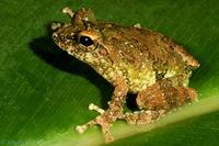 Новый вид лягушек на грани исчезновения