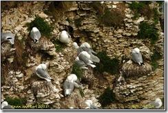 Bempton Cliffs D2h  01-04-2011 12-27-27