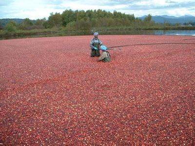 34900680.Harvestingcranberries2