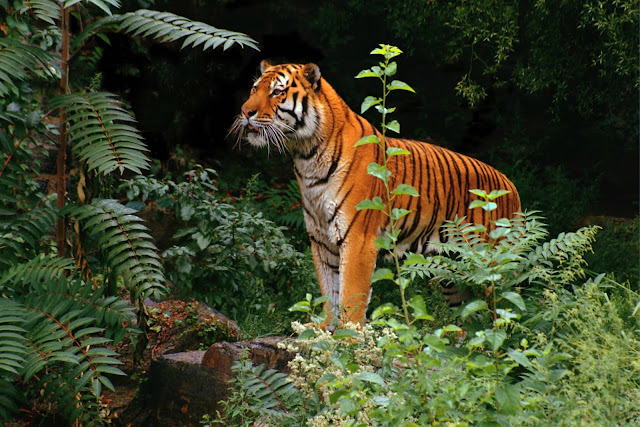Tigers Wild Animals Wallpapers 1600×1067