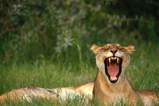 (A lioness),Wild Animals Wallpapers 1600×1067
