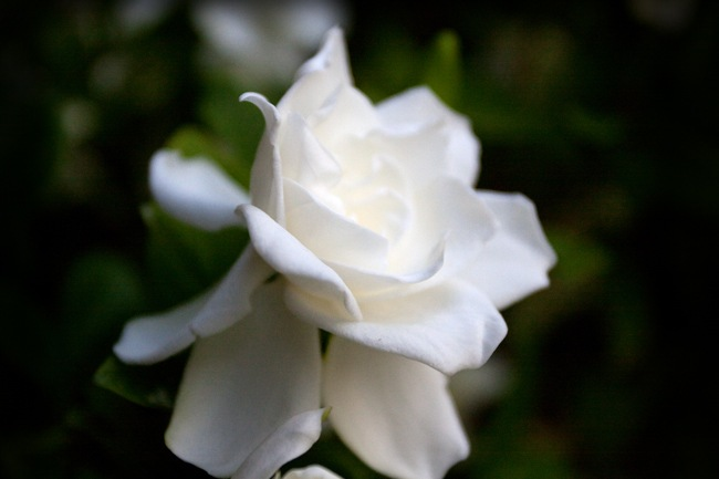 Gardenia-3