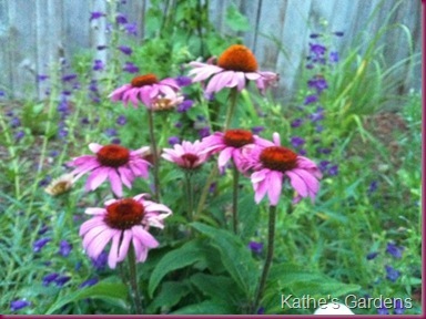 Purpleconeflowers-1