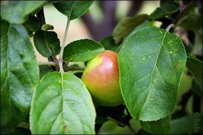 Äpple01