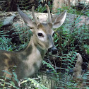 White Tailed Deer (male)
