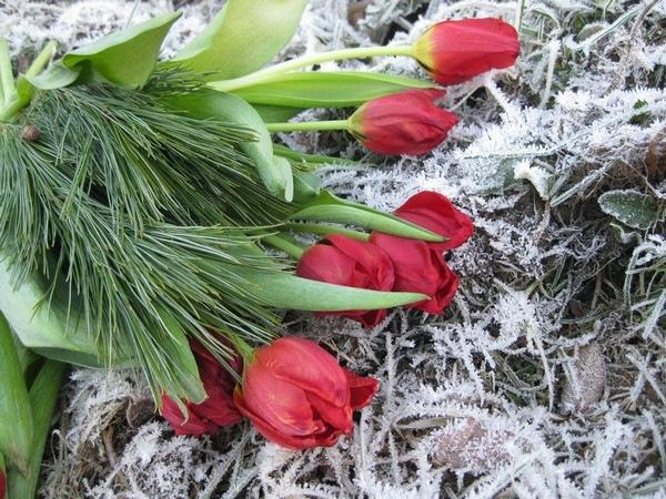2008-12-26 Tulipaner på komposthaugen (3)