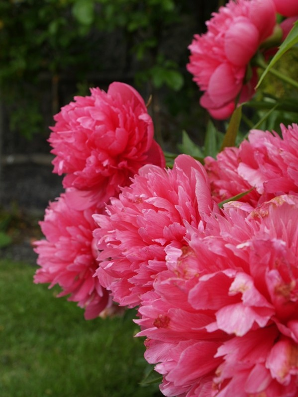 P6182419 Paeonia officinalis