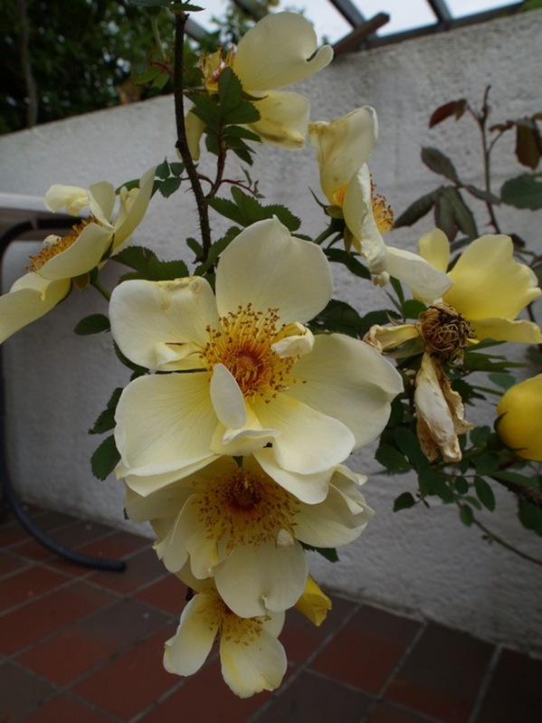 P6182423 Rosa 'Aïcha'