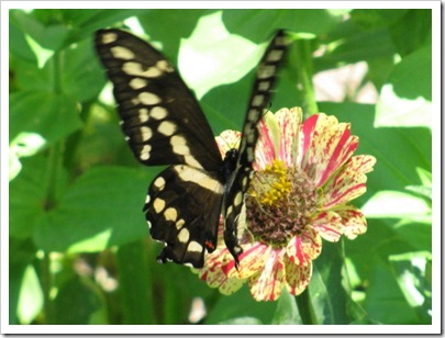 butterfly_on_flower