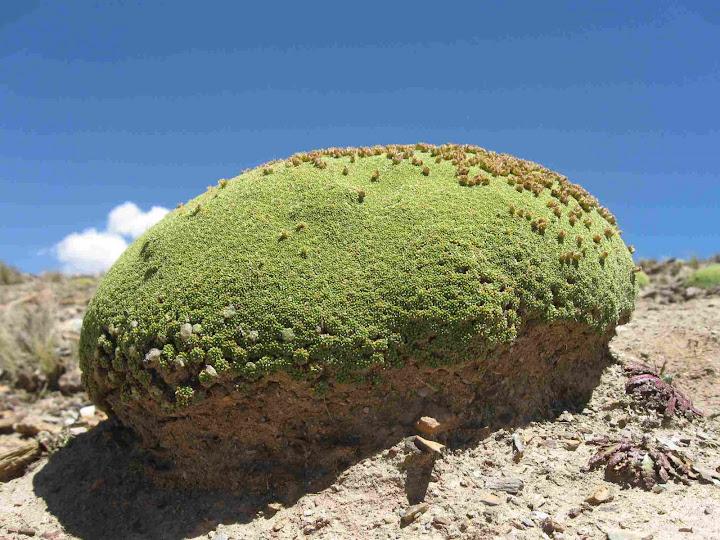 LEJARRETA EN LOS ANDES (2009) 14.musgo%20alta%20montana