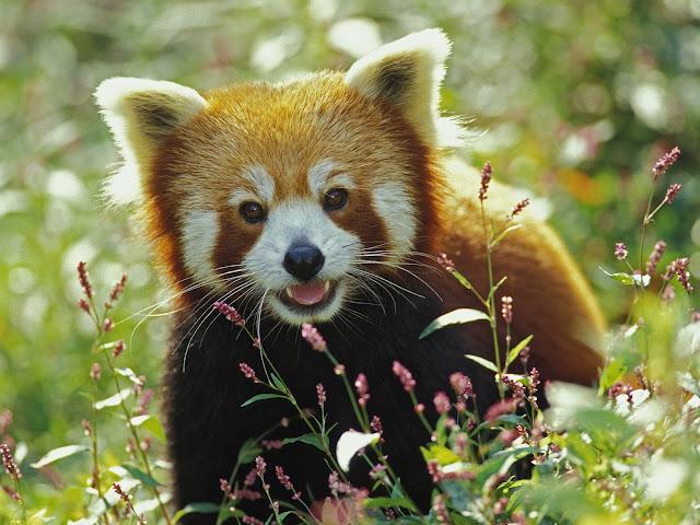 Conheça o Fire Fox! Firefox%2C%20Red%20Panda