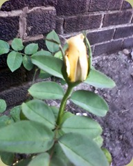 Blooming Yellow Rose2