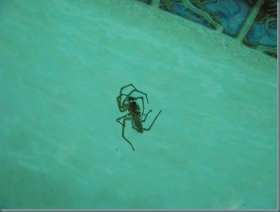 pool tarantula 003