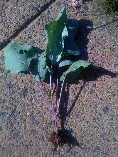 What's the deal with kohlrabi Photo%203-736566