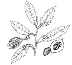 Myristica fragrans Houtt. (Myristicaceae) Mace, Nutmeg