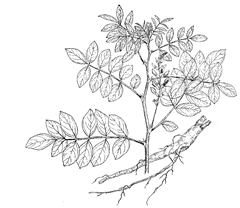 Glycyrrhiza glabra L. (Fabaceae) Licorice