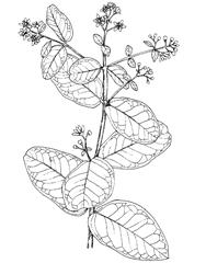 Peumus boldus Molina (Monimiaceae) Boldo