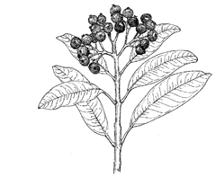 Pimenta dioica (L.) Merr. (Myrtaceae) Allspice, Clove Pepper, Jamaica Pepper, Pimienta, Pimento