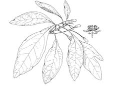 Sassafras albidum (Nutt.) Nees (Lauraceae) Sassafras