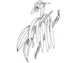 Vanilla planifolia Jacks (Orchidaceae) Vanilla