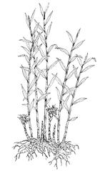 Zingiber officinale Roscoe (Zingiberaceae) Ginger