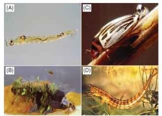 Typical insects inhabiting lentic environments. (A) Diptera: Chaoboridae (Chaoborus), (B) Trichoptera: Limnephilidae (Limnephilus), (C) Coleoptera: Dytiscidae (Agabus), (D) Coleoptera: Dytiscidae.