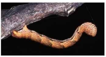 Twig-mimic inchworm caterpillar of a moth (Geometridae).